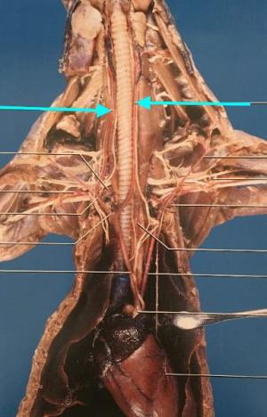 Mink Thoracic Cavity Flashcards | Easy Notecards