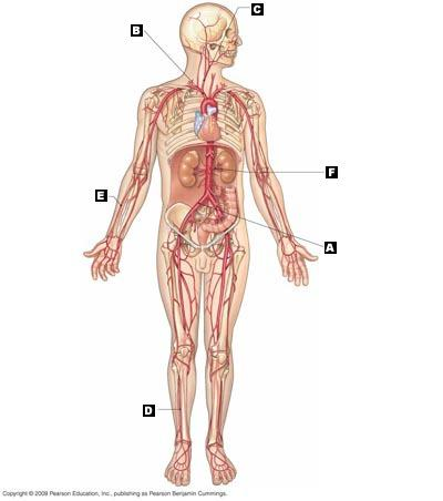 muscular system diagram without labels frigidaire wiring chapter 21 blood vessels and circulation flashcards | easy notecards