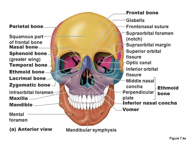 parts of the human skull diagram suzuki fiero bike wiring print chapter 7 flashcards | easy notecards
