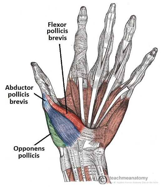 palmar hand muscle anatomy diagram simple sankey print muscles of the forearm and flashcards | easy notecards
