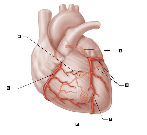 heart diagram unlabeled vt thermo fan wiring print cardiovascular system - the flashcards | easy notecards