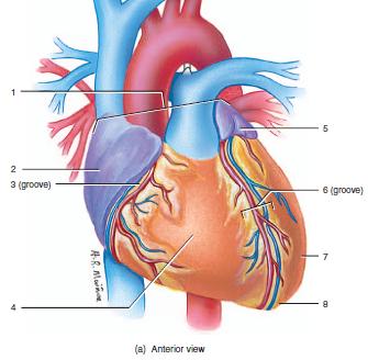 label heart diagram 2002 chevy silverado parts anatomy exam 3 flashcards   easy notecards