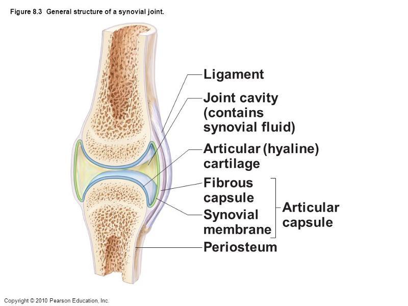 Fibrous Capsule Diagram