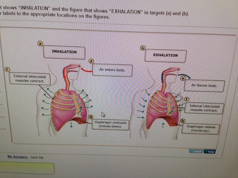 Diaphragm Lungs Mechanics