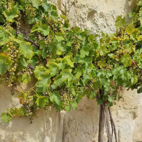Vines in Chinon