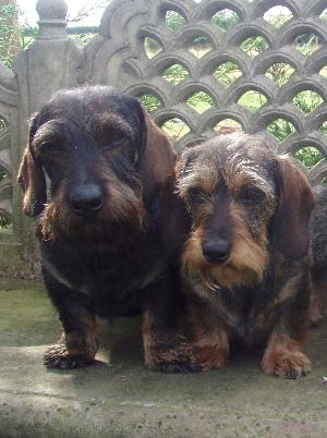 Miniature Dachshund Wire Haired Breed Information History