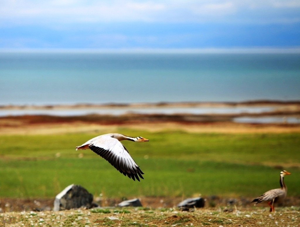 Qinghai Lake Bird Island