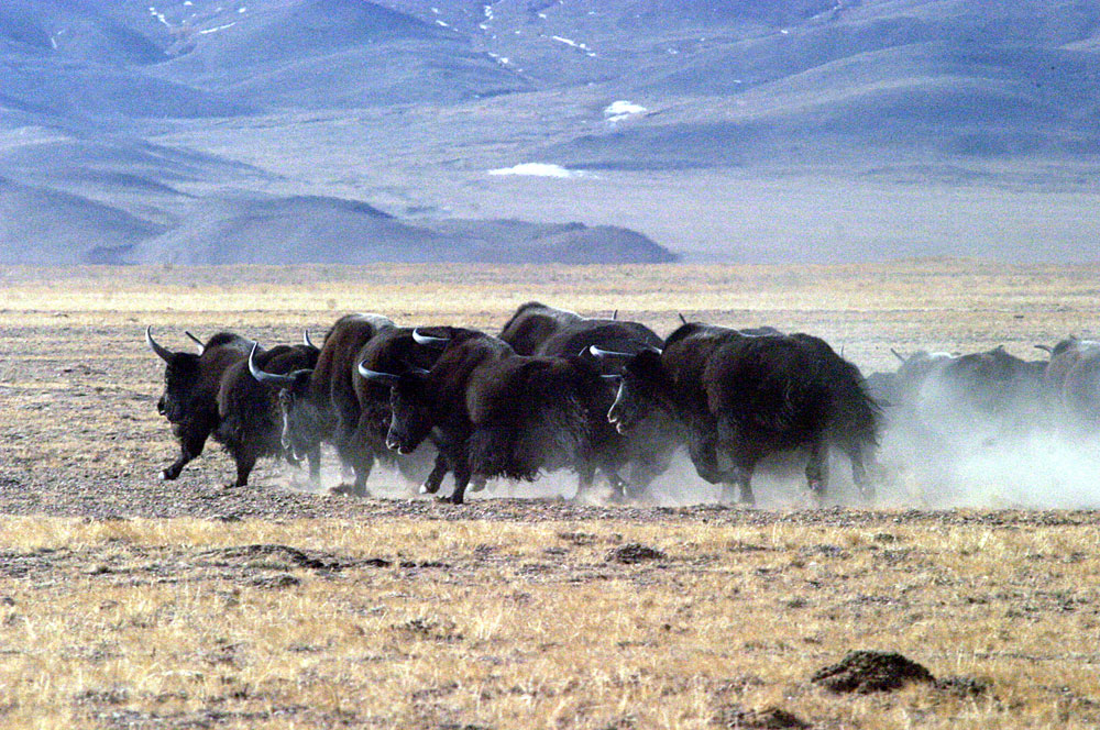 Yak of Qinghai Lake