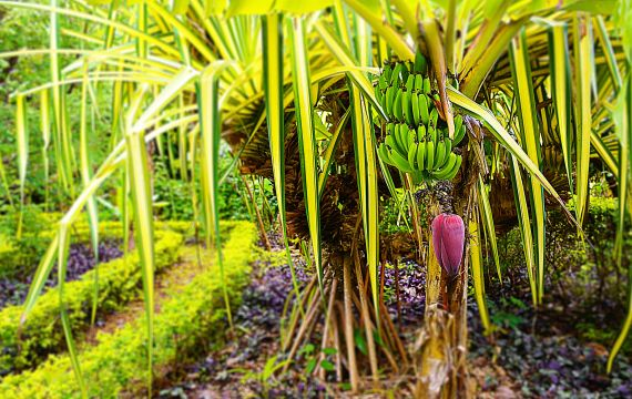 Más de 500especies de plantas : Flor de las islas Cook - Islas Cook