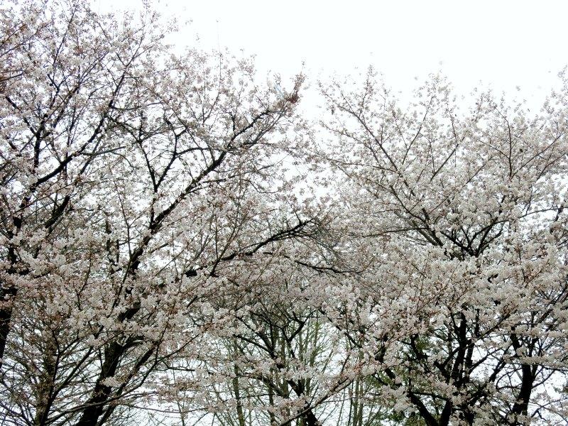 Two Big Cherry Blossom Trees