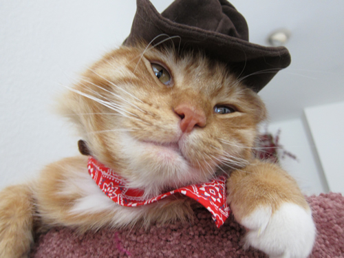 Max in a his cowboy hat and scarf #cats #catswearingclothes