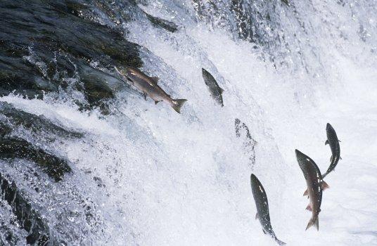 salmon jumping upstream
