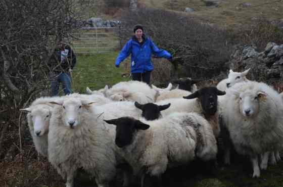 When given the opportunity to chase sheep...take it.