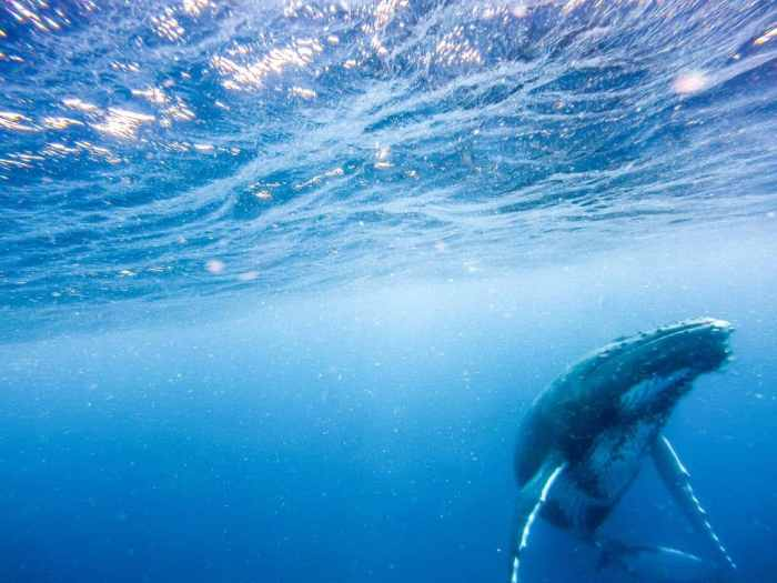 Swimming with whales in Tonga