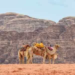 Camels in Wadi Rum, Jordan