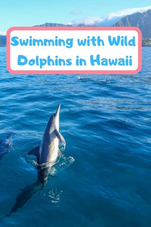 Swimming with wild dolphins in Hawaii- ethically and responsibly. #dolphins #Hawaii #Oahu