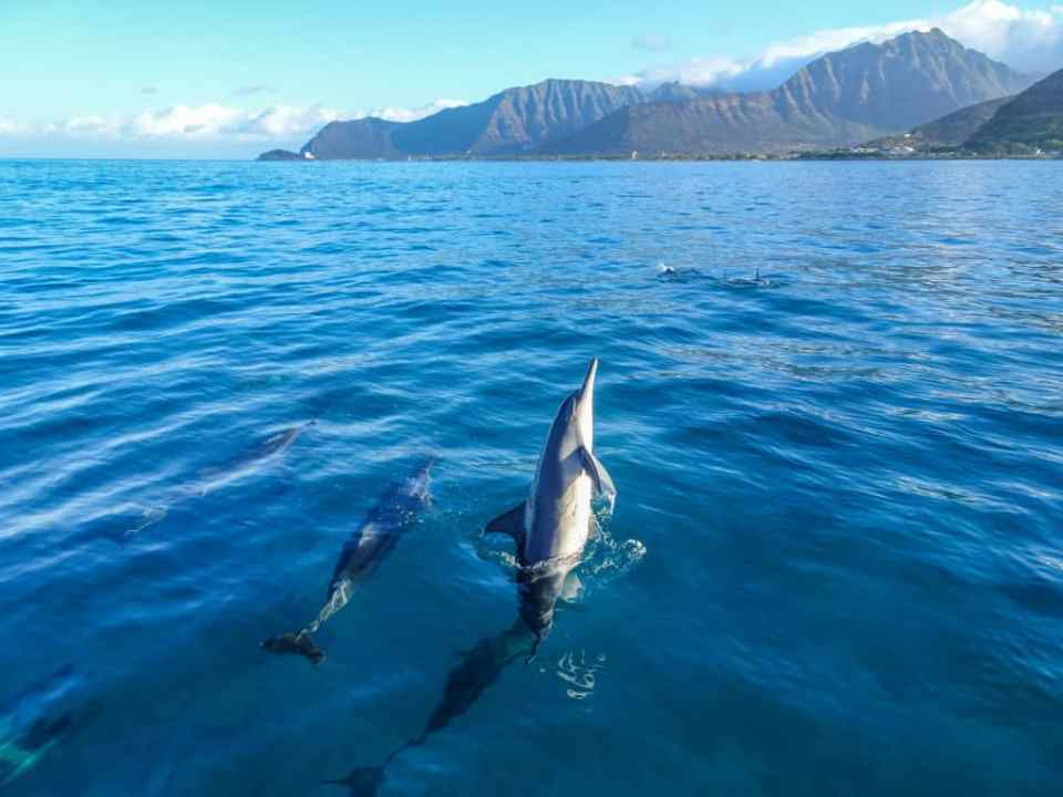 wild spinner dolphins in Hawaii