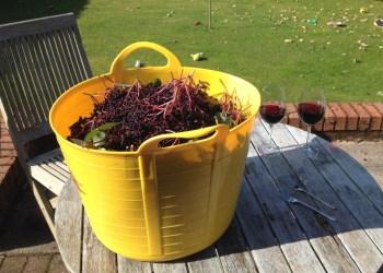 Elderberries picked and ready