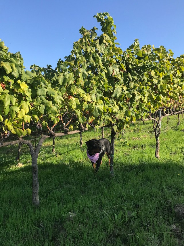 Vineyards at Tenuta Chiudendone, Tuscany