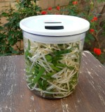 Pickled Beansprouts