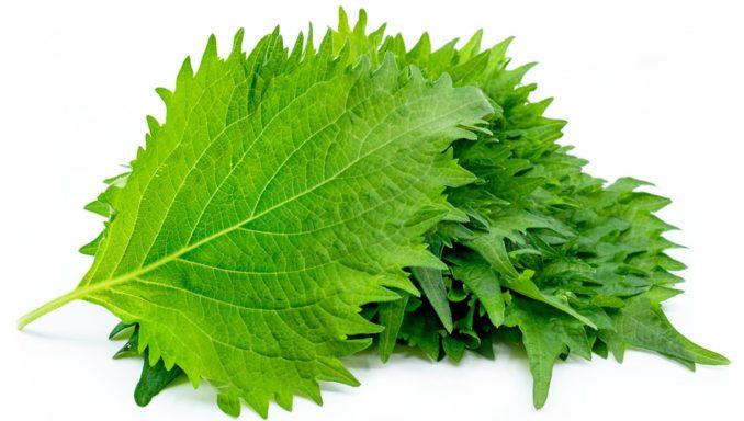 Shiso-Green-Oba-Leaves