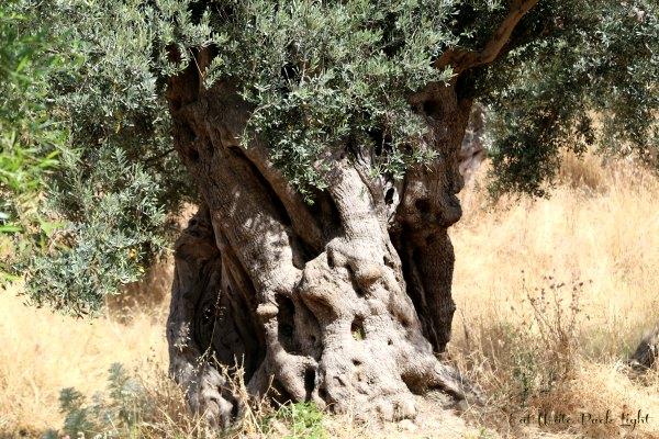 Sicily Ancient tree