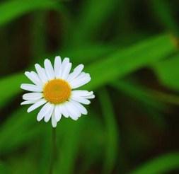 One white daisy flower.