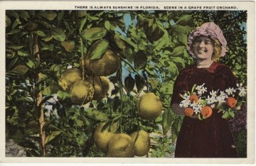 antique Florida grapefruit postcard