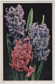 Hyacinth by Arthur Dixon