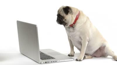 pug and computer