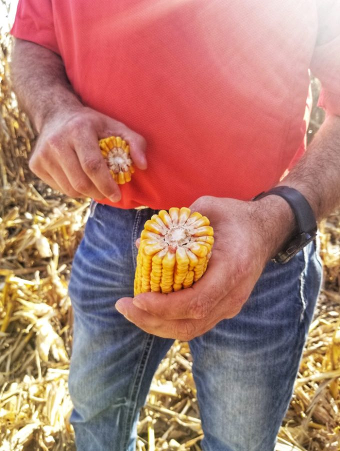 Iowa Corn- how farmers care for and make their crops