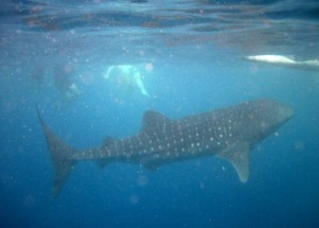 Whale shark watching in Oslob, Cebu