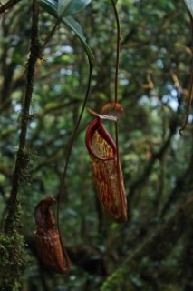 Mossy Forest of Gunung Brinchang