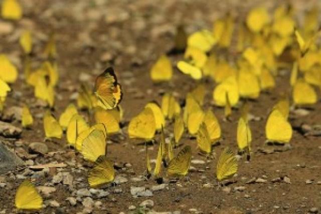 Sulphur Butterflies at Bakbakan Falls
