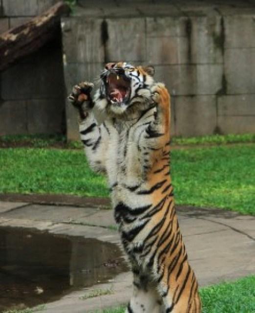 Tiger Show
