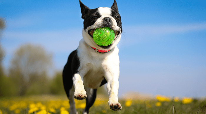 Small dog playing with green ball