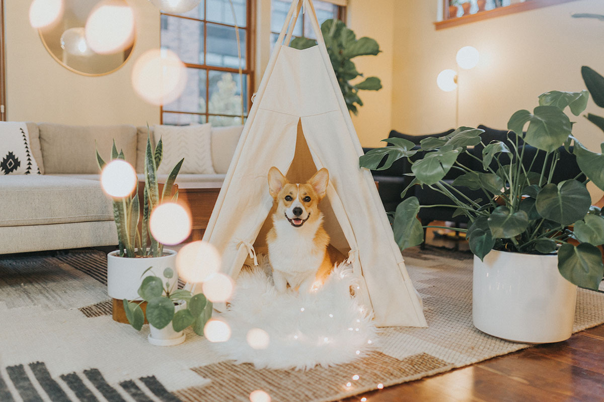 Corgi in a teepee