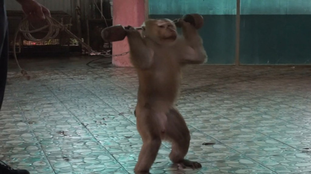 Disheartening footage of a monkey 'forced' to lift weights and do press-ups by its instructor