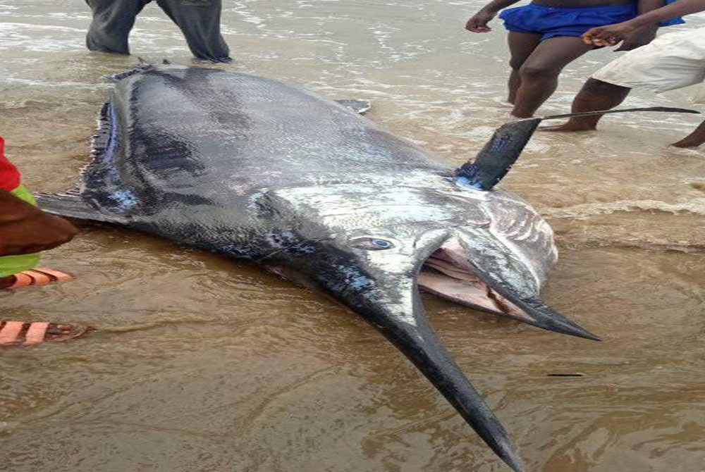 The-excitement-in-Rivers-Community-as-fisherman-catches-giant-swordfish