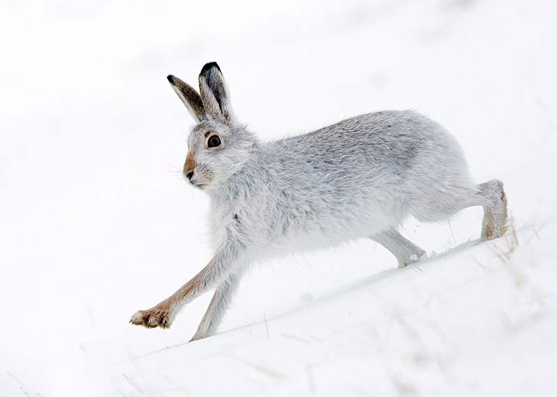 Scottish Mountain Hare Photography In Winter EBirder