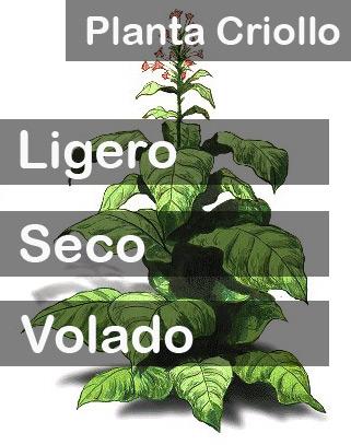 Planta Criollo