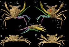 eBlue_economy_Remains of a crab discovered in 100 MILLION-year-old amber