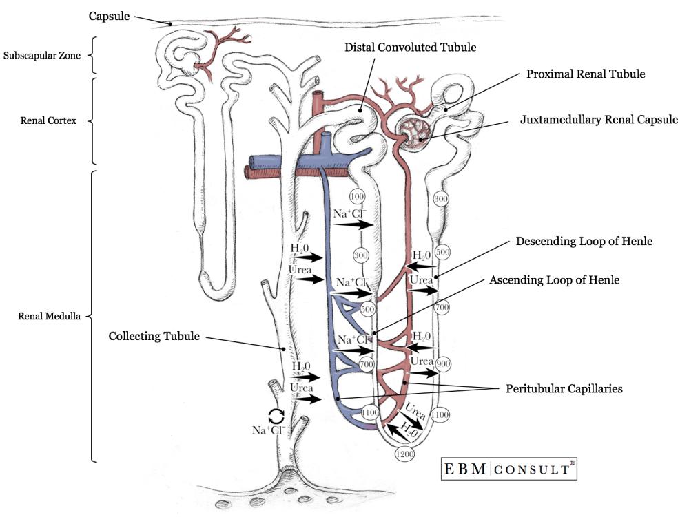 medium resolution of nephron anatomy physiology
