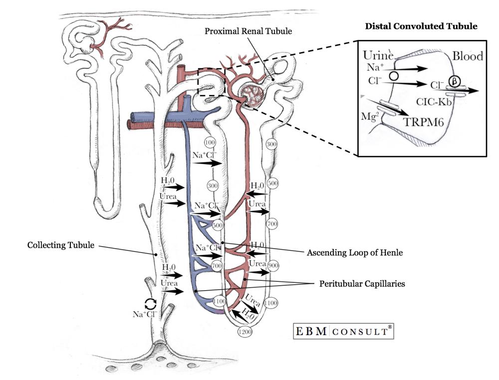 medium resolution of nephron anatomy physiology distal convoluted tubule