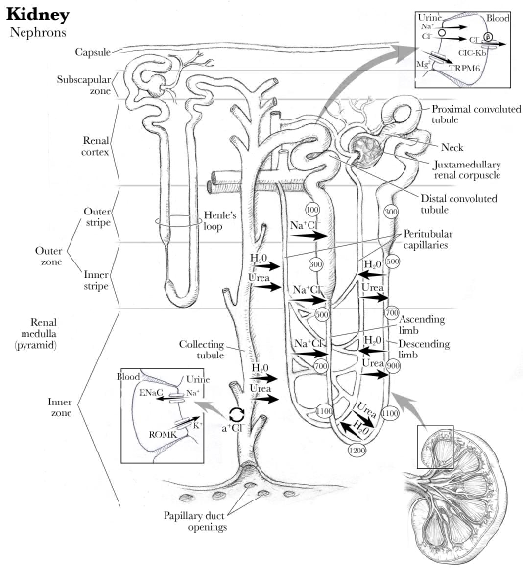 Anatomy Kidney Renal Artery Renal Vein And Ureter