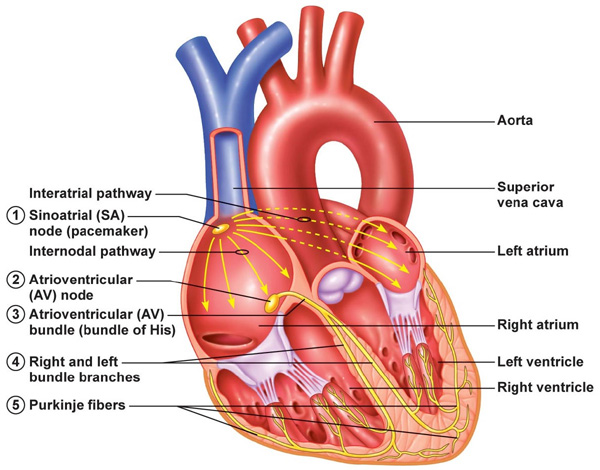 nervous system fill in the blank diagram iskra alternator wiring electrical signals of heart