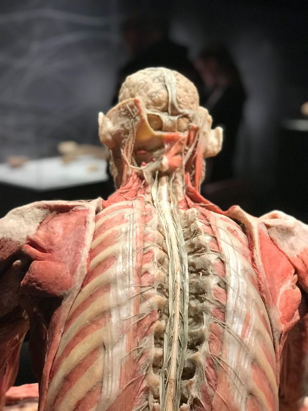 Real Bodies the Exhibition