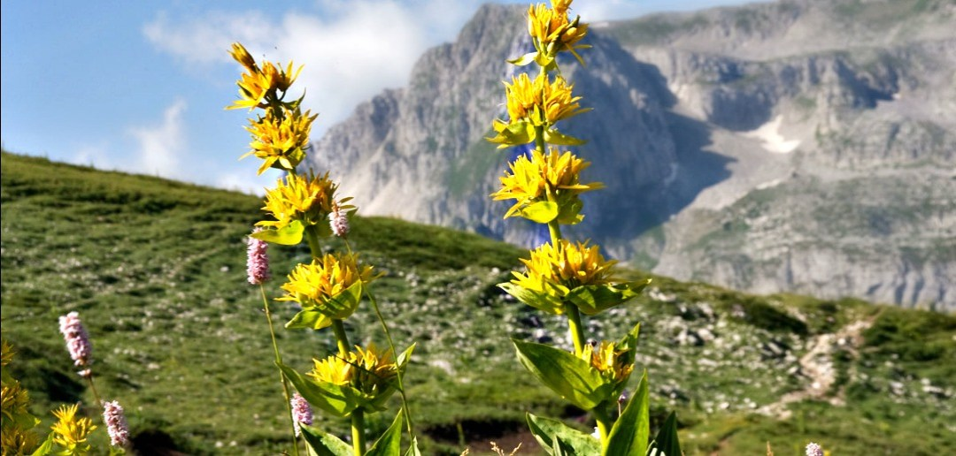 La Genziana, una pianta miracolosa