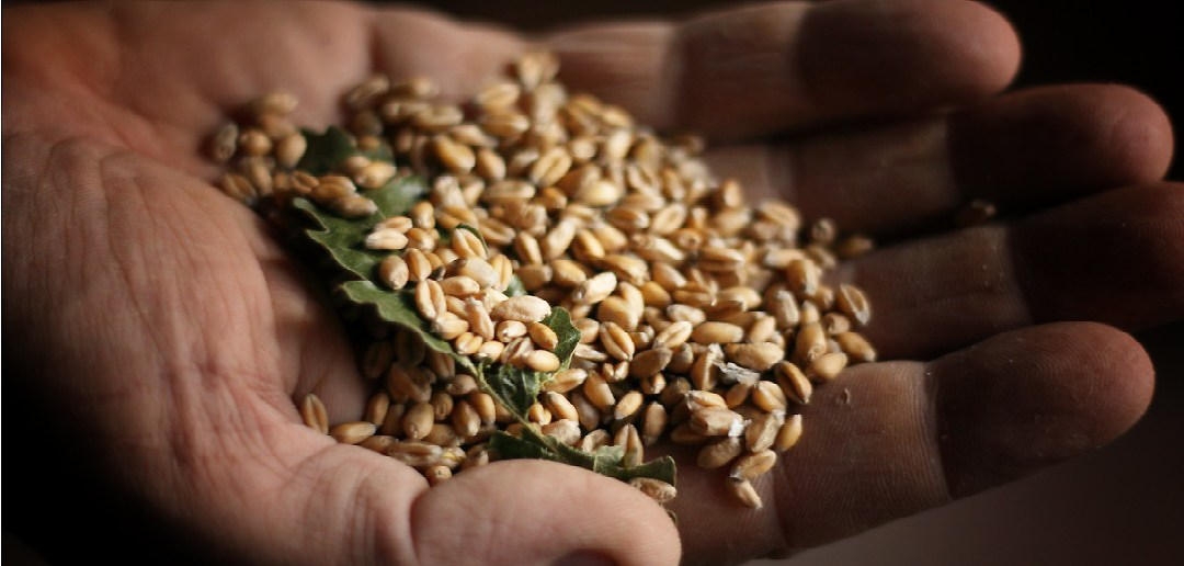 Alla riscoperta del grano Solina