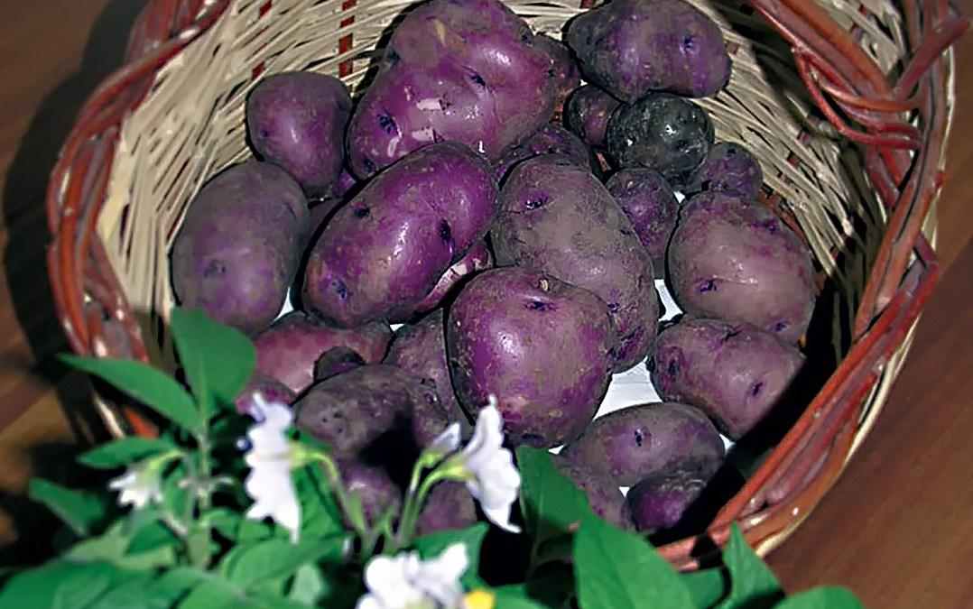 La patata turchesa: la principessa ritrovata